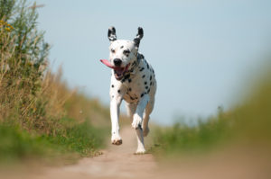 Front View of Dalmatian Dog Running on Path